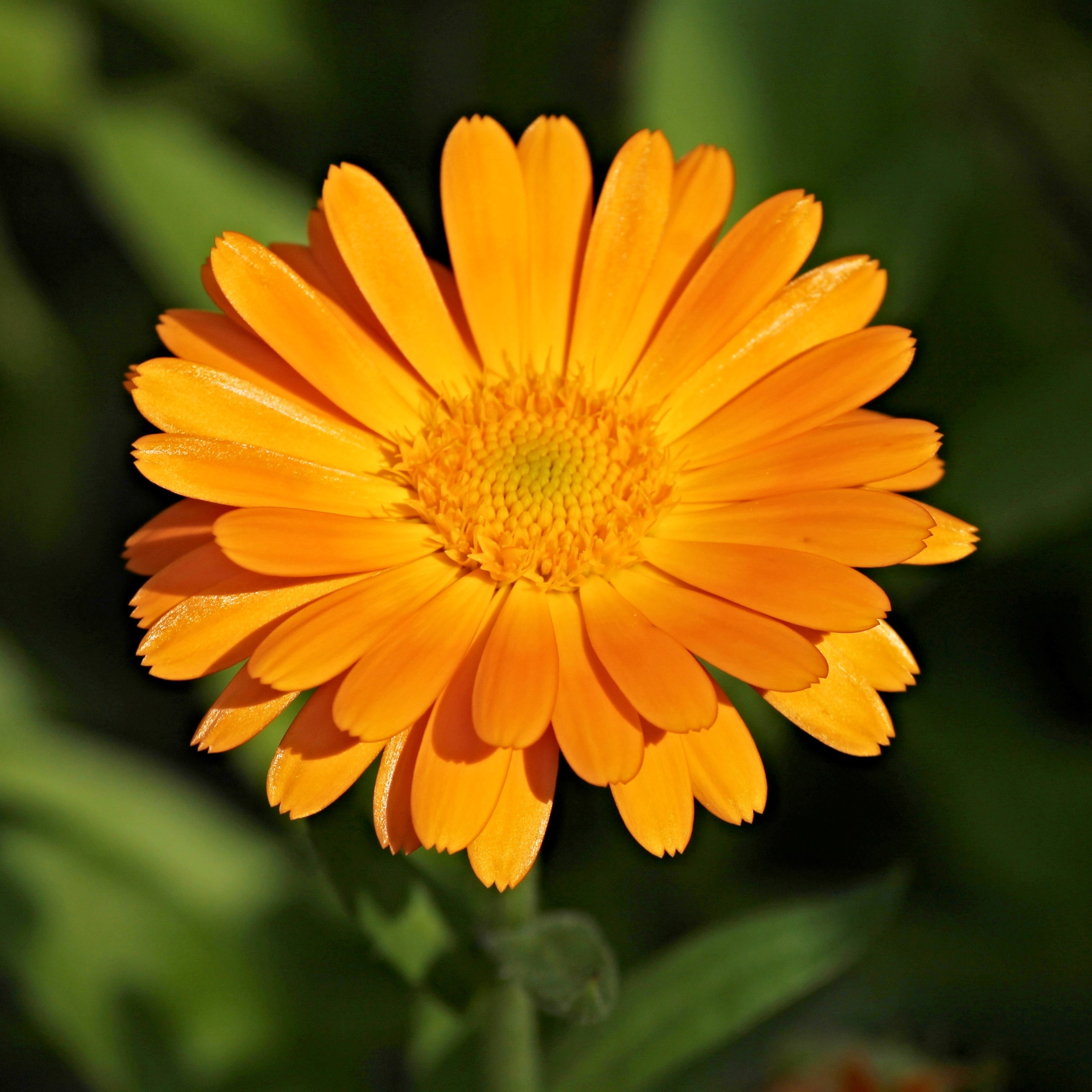 Canva_-_Calendula_Flower_Detail.jpg